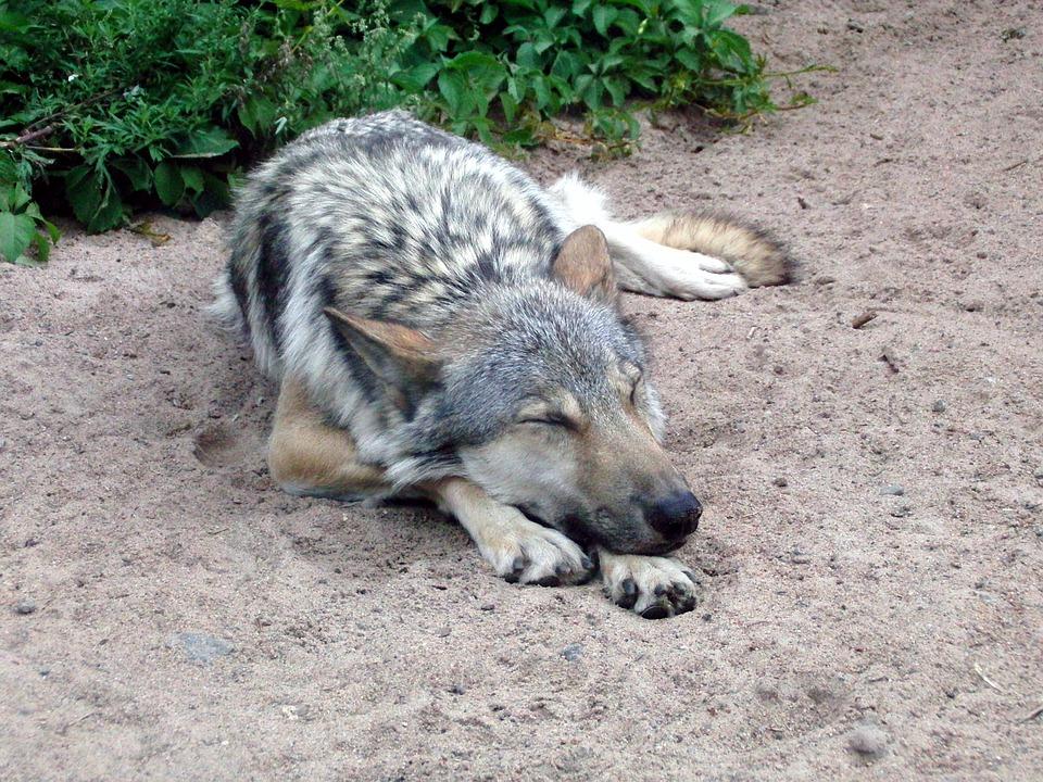 wolf-2102424_960_720