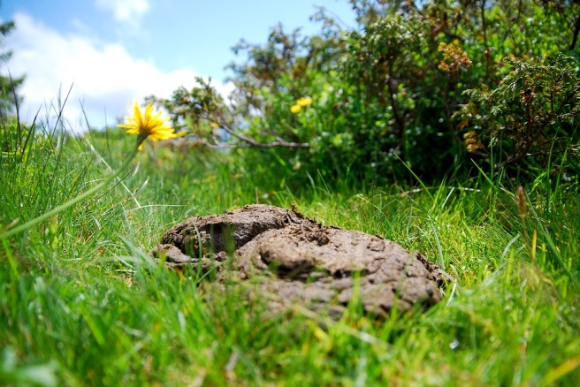 cow-dung-2489558_960_720